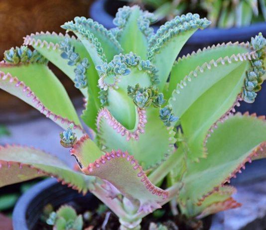 Bryophyllum kann dich auf natürliche Weise bei deinem Kinderwunsch unterstützen