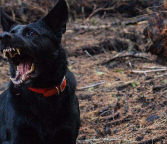 Ein großer, schwarzer Hund hat ein Baby und ein Kleinkind schwer verletzt.
