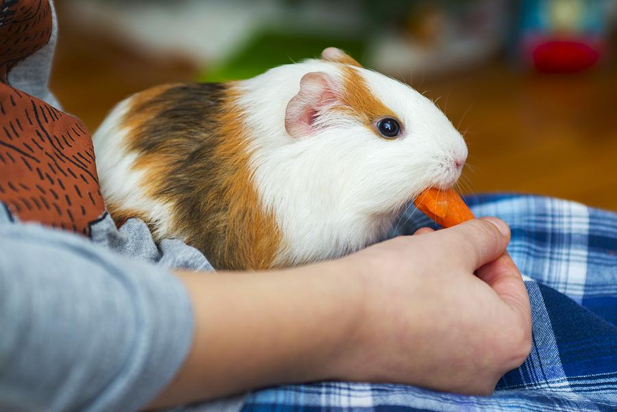 Meerschweinchen und Kaninchen sind als Haustier für Kinder geeignet.