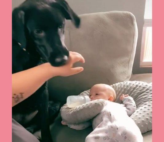 Dieser Hund möchte nicht, dass das Baby berührt wird.